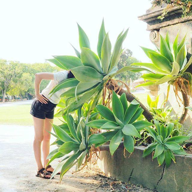 Fou ! Plantes géantes... #LGSàLisbonne #jardim #Alcantara #Lisboalovers #Lisbonne #Lisboaalive #green #urbanjungle #botanique #succulente #cactee #gardening #aliceinwonderland