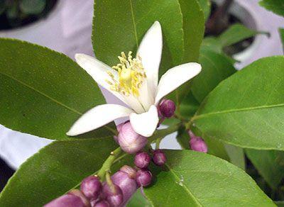 Άνθος λεμονιάς / Lemon Flower