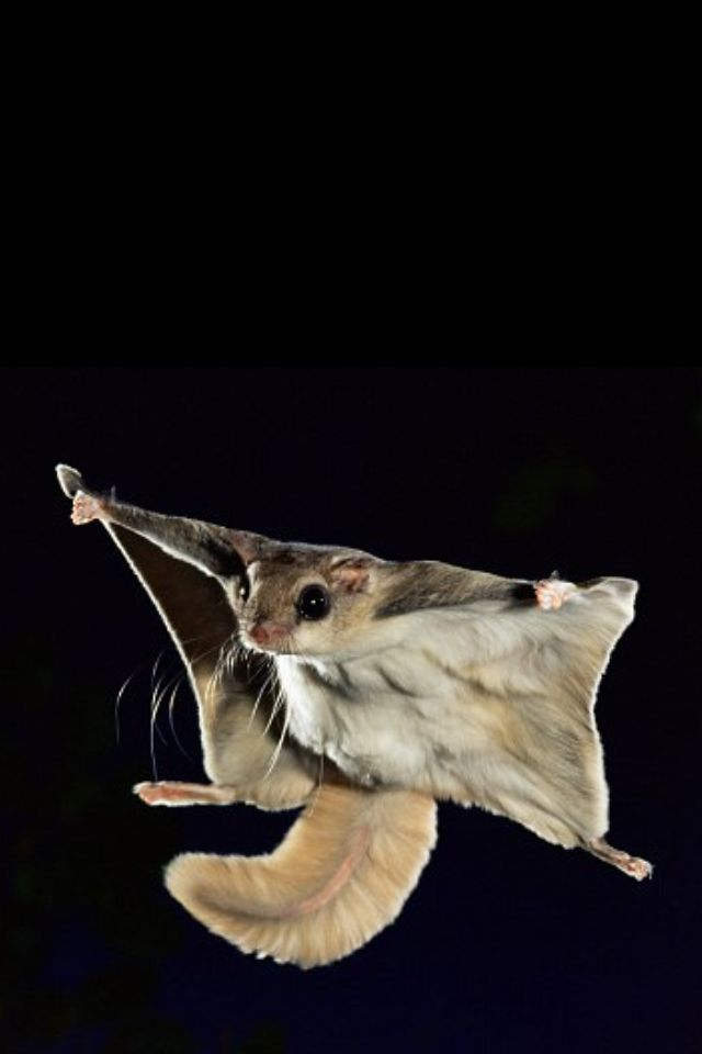 flying squirrel this is what I used to have dreams that I was.  :) crazy!