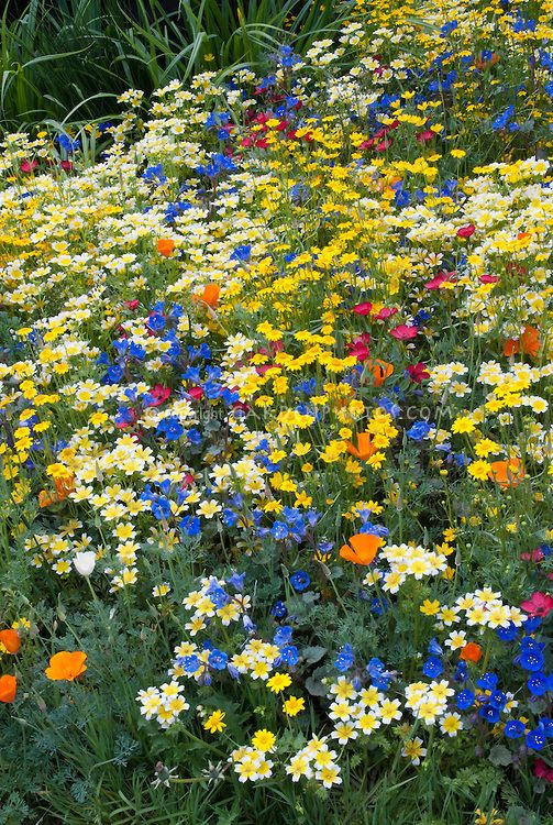 Mixed beautiful wildflowers in gold yellow orange blue for Cottage garden plants