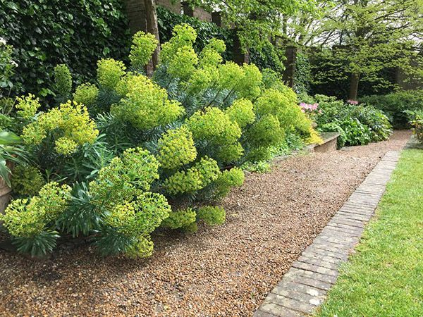 Euphorbia characias 'Bruce's Dwarf' - Bruce's Dwarf Euphorbia  Category: Perennial Family: Euphorbiaceae (Spurges) Origin: Mediterranean (Europe) Evergreen: Yes Flower Color: Chartreuse Bloomtime: Spring/Summer Height: 2-3 feet Width: 2-3 feet Exposure: Cool Sun/Light Shade Summer Dry: Yes Deer Tolerant: Yes Irrigation (H2O Info): Low Water Needs