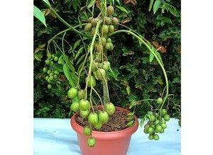 Caja Manga Anão p/ Vasos - Frutas Excelentes
