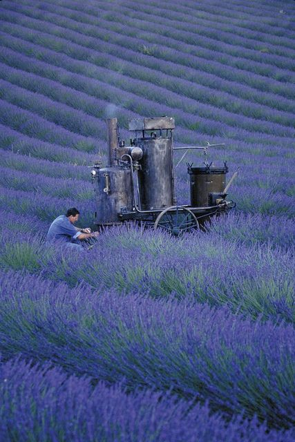 I like the look of that machine he's using - it's probably as old as France!Olivier Baussan Distilling Lavender by LOccitane en Provence