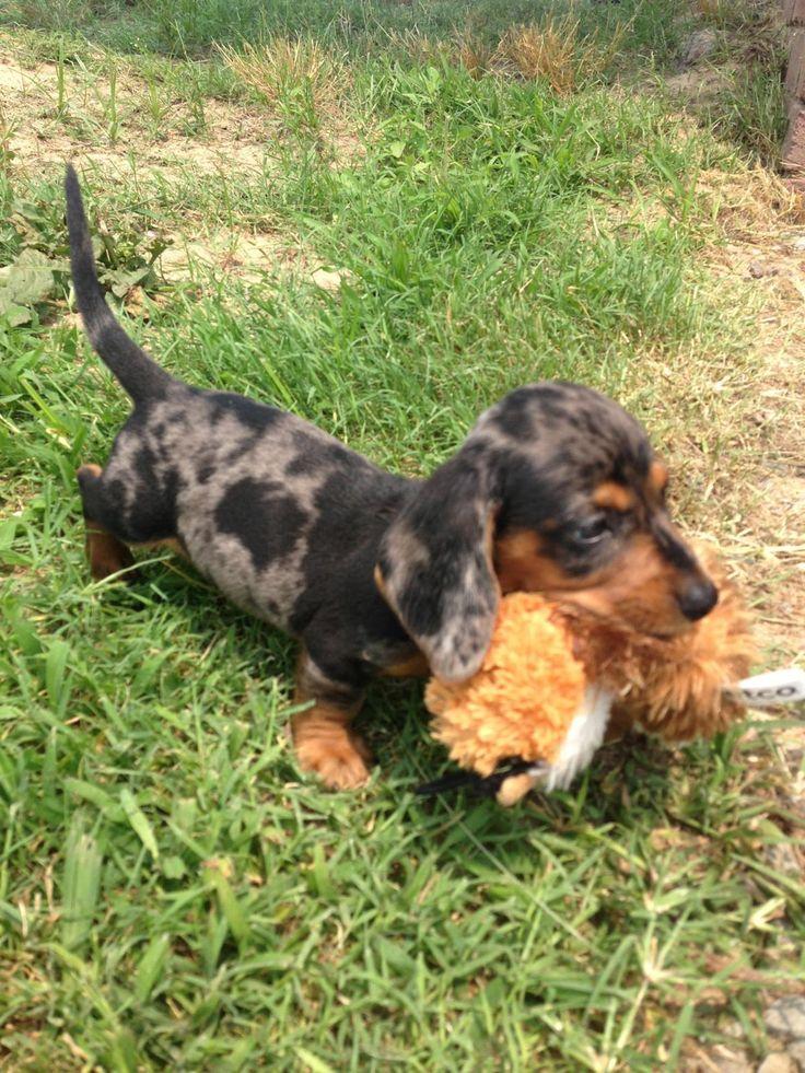 6 weeks old. Dapple dachshund puppy :)