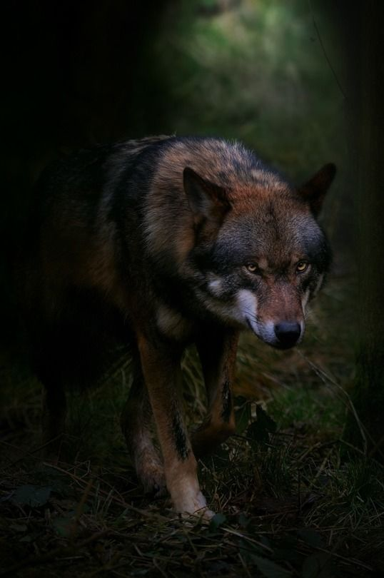 "forest-faerie-spirit: "" {Shadow Wolf} by {Foto Foosa} """
