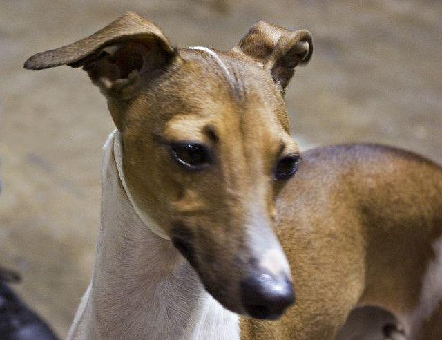 italian greyhound | Italian Greyhound | Flickr - Photo ...