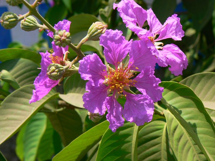Tamhan Marathi त म हण Plant Images Lagerstroemia Indian Flowers