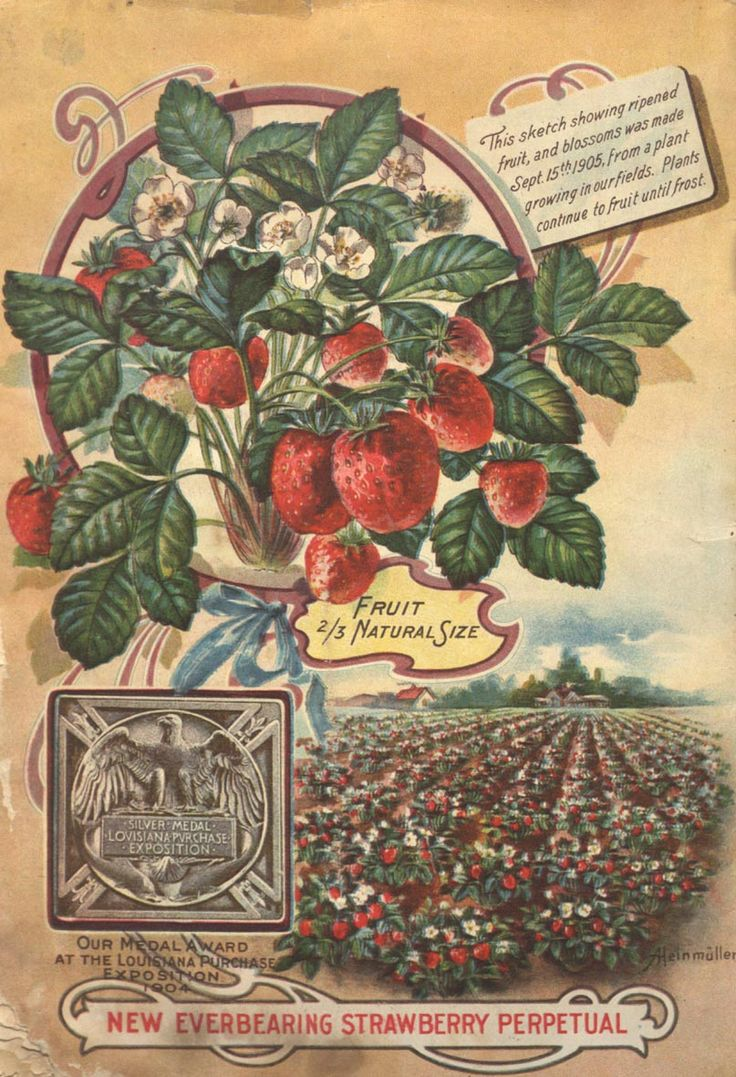 From the collection at Andersen Horticultural Library. Seed catalogs often tout major awards won by that nursey at world's fairs and other horticultural exhibitions. The cover of Fuller, J. Roscoe & Co.'s 1905 seed catalog highlights their silver medal won at the 1904 St. Louis World's Fair.