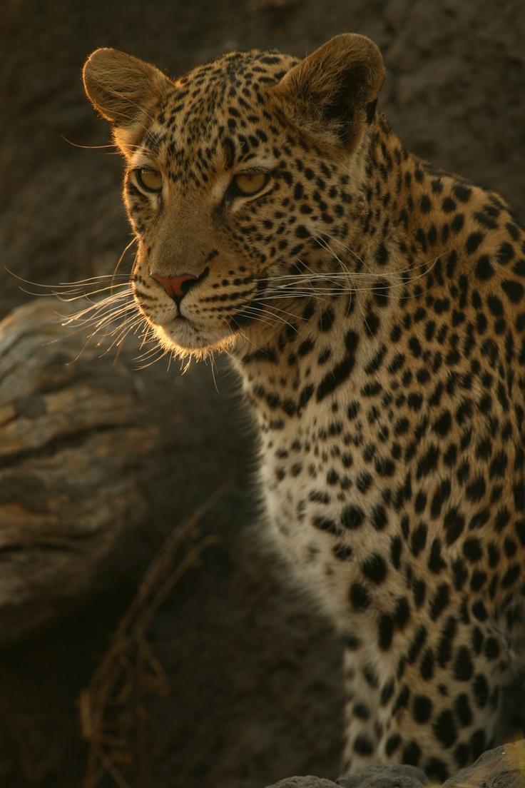 Scopri il fascino della natura selvaggia in Sudafrica, dove il safari è un'esperienza sempre nuova ed entusiasmante, che coinvolge grandi e piccoli! Lasciati sedurre da incontri ravvicinati con gli animali selvatici, come l'incontro ravvicinato con uno splendido esemplare di leopardo!