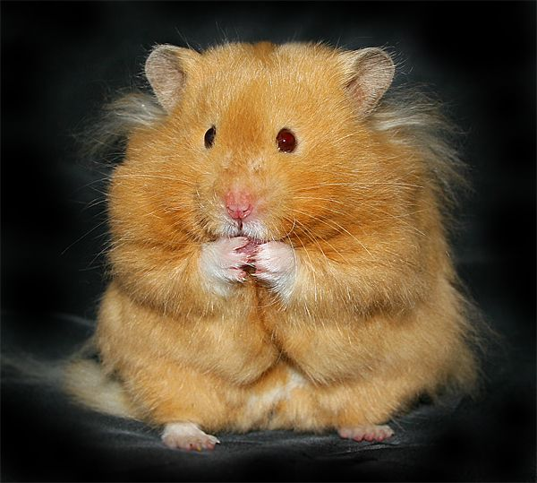 20 best images about Hamsters on Pinterest