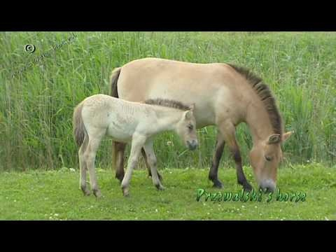 Przewalski's Horse - Equus ferus przewalskii - Przewalski's Horse has never been successfully domesticated and remains a truly wild animal today.    Looking for broadcast footage? Don't shoot! Contact  http://www.stockshot.nl/english/startuk.htm ©