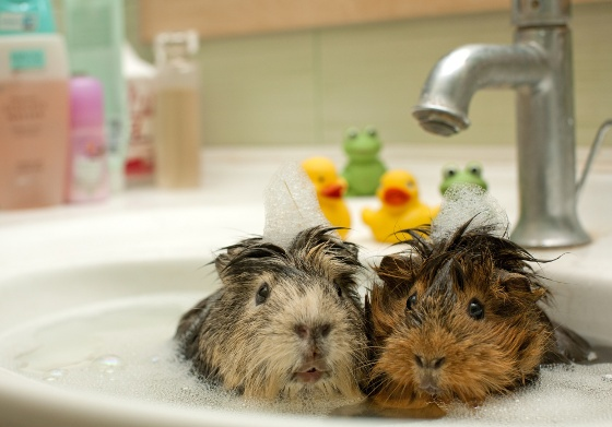 Klatki dla świnek morskich i królików: http://www.kakadu.pl/Klatki-dla-ma%C5%82ych-ssakow/klatki-dla-winek-morskich-i-krolikow.html