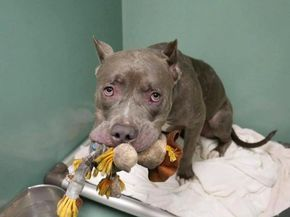 Layla is on death row scheduled for humane euthanasia on Tuesday afternoon at the Brooklyn facility of Animal Care Centers of New York City. It's not that Layla isn't an affectionate snugly pup, and it's not that all adoption care centers aren't promoting adoptions; it's that no one has come for this sweetheart. The shelter …