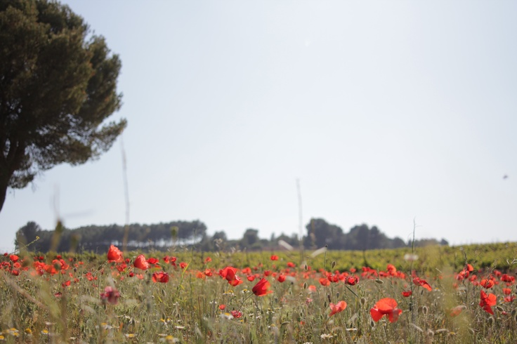 amapolas/poppies, julio/july 2012