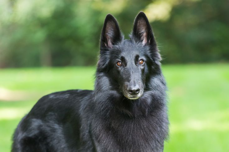 All About The Belgian Sheepdog Dog Breeds Belgian Sheepdog Herding Breed