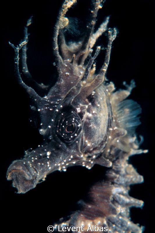 The dark horse. From the Aegean Sea, Turkey