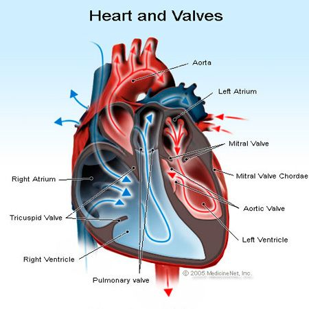 Heart and Valves Illustration (information regarding prolapse (ethan) and redundancy (elliott))