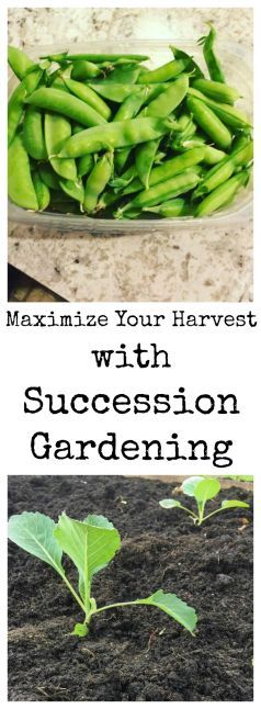 How to use succession gardening to maximize your harvest this year.