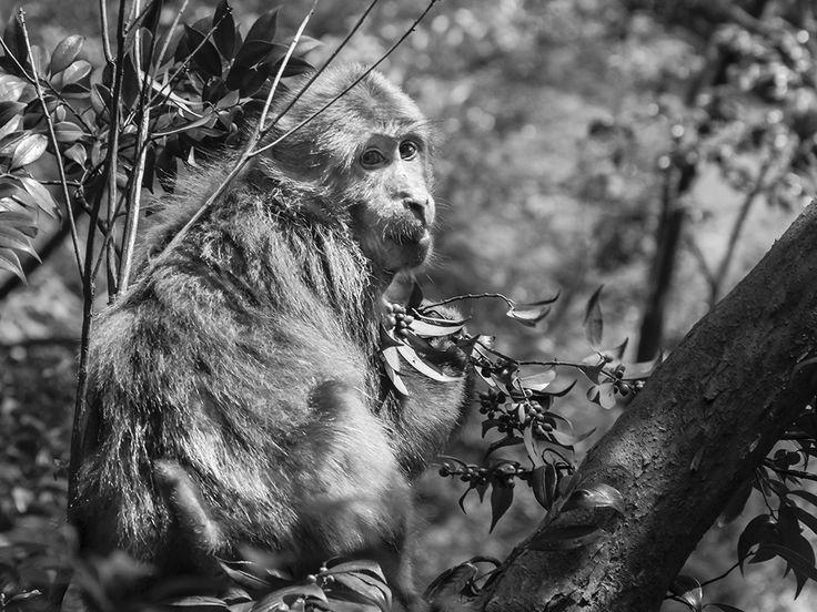 Monkey in Yellow Mountains