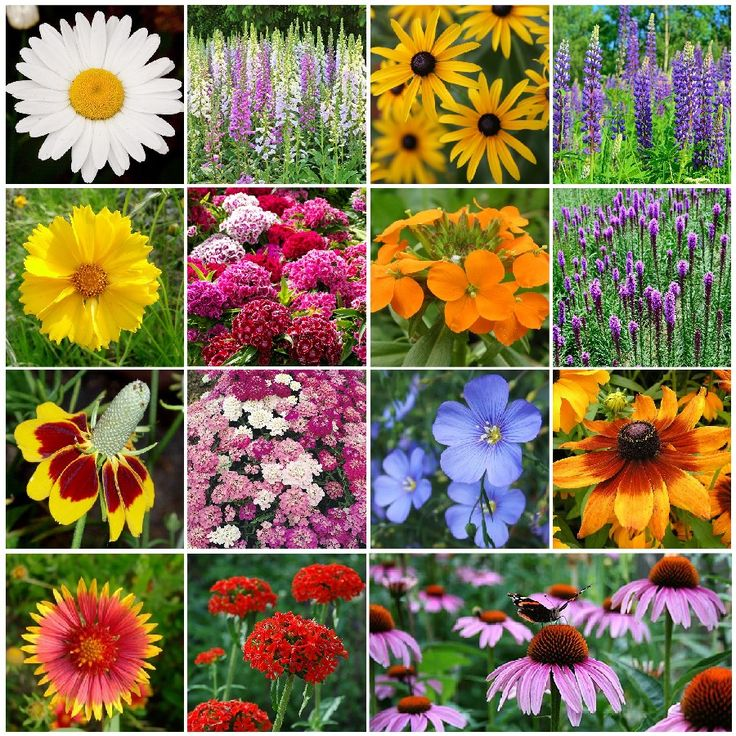 All Perennial Wildflower Seed Mix If your plan is to sit back and let Mother Nature do her thing, then this is probably the wildflower mix for you. Once you've done the proper soil prep and sowed the seed, you're done! Our All-Perennial Wildflower Seed Mix contains many of the most beloved perennial wildflowers including Lupine, Flax, Coreopsis, and Shasta Daisy. Suitable for all regions of North America.