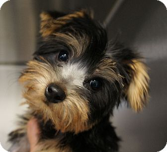 Los Alamitos, CA - Yorkie, Yorkshire Terrier Mix. Meet Molly 4, a puppy for adoption. http://www.adoptapet.com/pet/11275201-los-alamitos-california-yorkie-yorkshire-terrier-mix