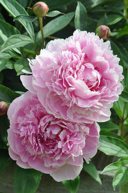 Paeonia lactiflora 'Sarah Bernhardt' Les pivoines sont parmi mes fleurs préférées, dommage qu'elles soient si fragiles.