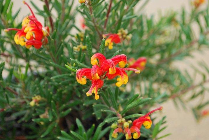 Grevillea Charlies Angel --- For more Australian native plants visit austraflora.com
