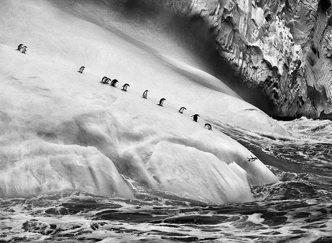 Sebastiao Salgado: Chinstrap penguins South Sandwich Islands