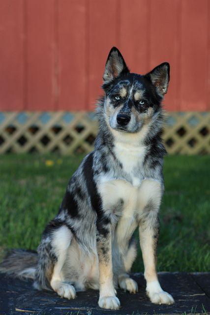 Demi's new fave breed. An Ausky ... A mix of an Australian Cattle Dog and Siberian Husky