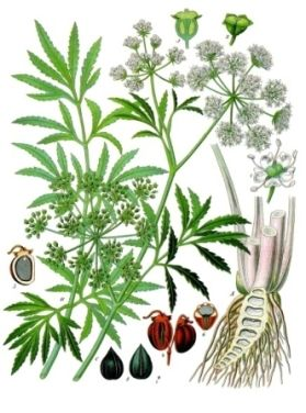 Water hemlock (Cicuta spp.) is one of the most deadly poisonous plants in North America. When you begin learning about wild plants, a great place to start is with the most dangerous species found in your area. This way you can be sure to avoid these poisonous plants when out in the field learning about other species.