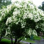 Trimming Dogwood Trees: Tips On How To Prune A Flowering Dogwood Tree