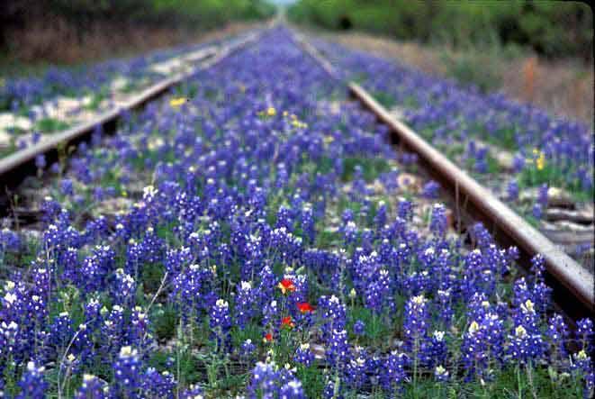 railroad bluebonnets, Texas