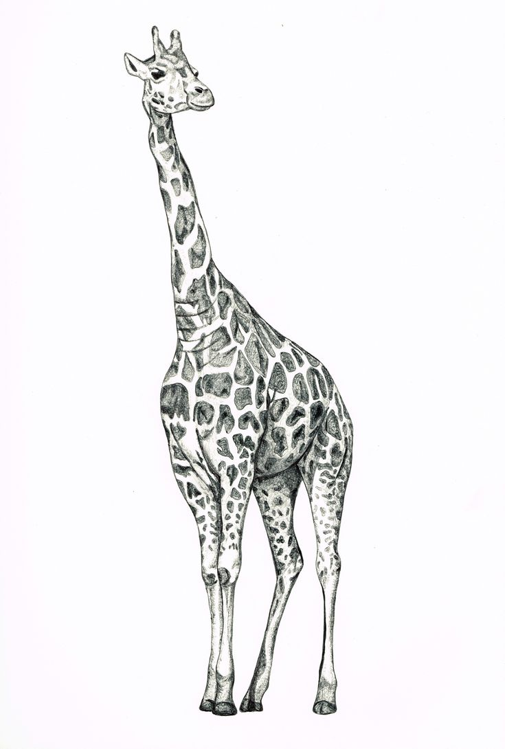 Giraffe Biro Drawing - by gemmamarie