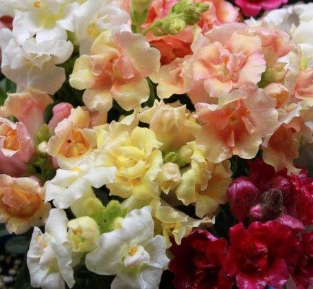 Snapdragon Double #pohlmansnursery #10pots #gardening #australia