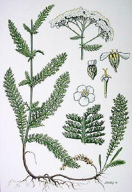 Achillea millefolium közönséges cickafark