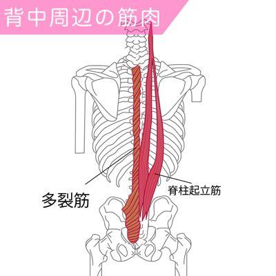 図のように脊柱起立筋は腰から背中にかけて広範囲に存在し、猫背がちな方はこの筋肉が弱っていたり、凝り固まっている傾向があります。  脊柱起立筋はアウターマッスル(外側)、多裂筋はインナー側(内側)の筋肉です。