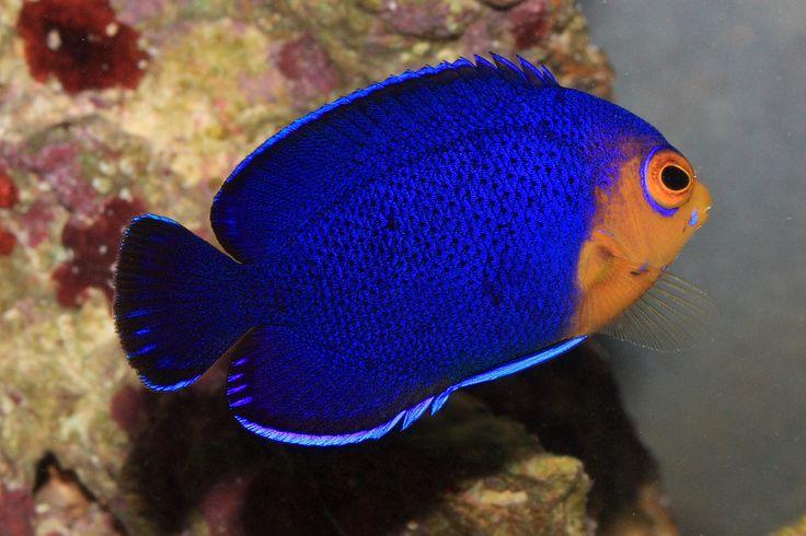 69 best Angelfish Saltwater images on Pinterest | Comet ...