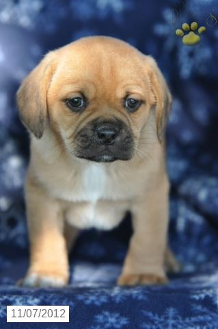 Reindeer - Puggle Puppy for Sale in Mount Hope, OH - Puggle - Puppy for Sale $350 *Like 3 Million Animals being EUTHANIZED each year isn't enough?! GET A JOB!!!