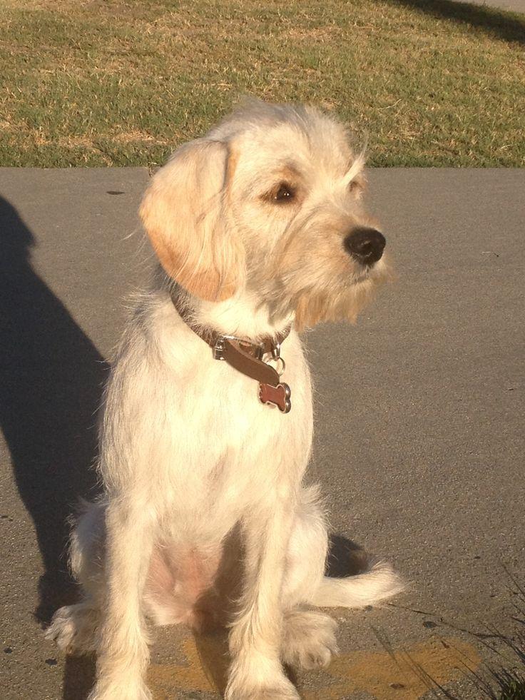 Cocker Spaniel Terrier Mix Beautiful Mix Breed I Love