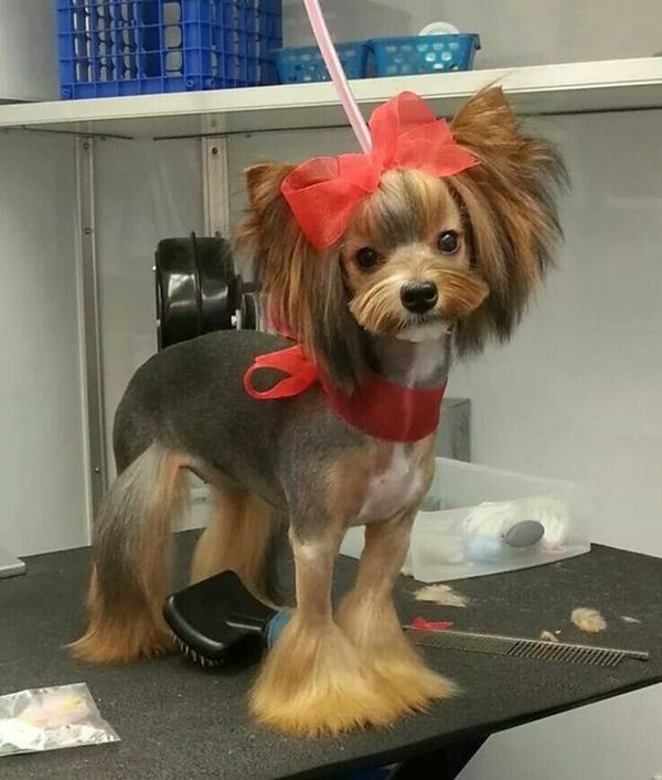 30 Different Dog Grooming Styles - Tail and Fur:  Cute, unique clip on a Yorkie