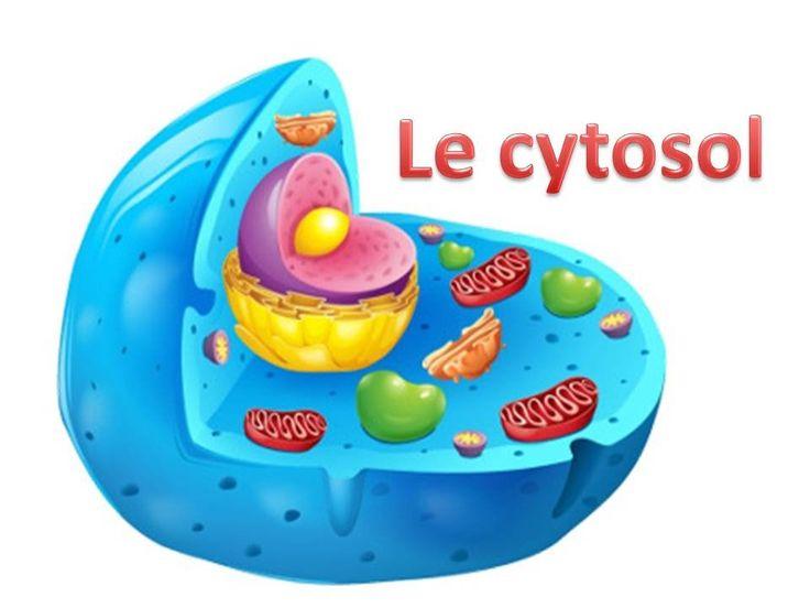 La cellule est constituée de différents organites cellulaire y'a compris le cytosol. Facebook: https://www.facebook.co/MondeBiologique?ref=tn_tnmn Pinterest: https://www.pinterest.com/biomsi14/monde-bio/