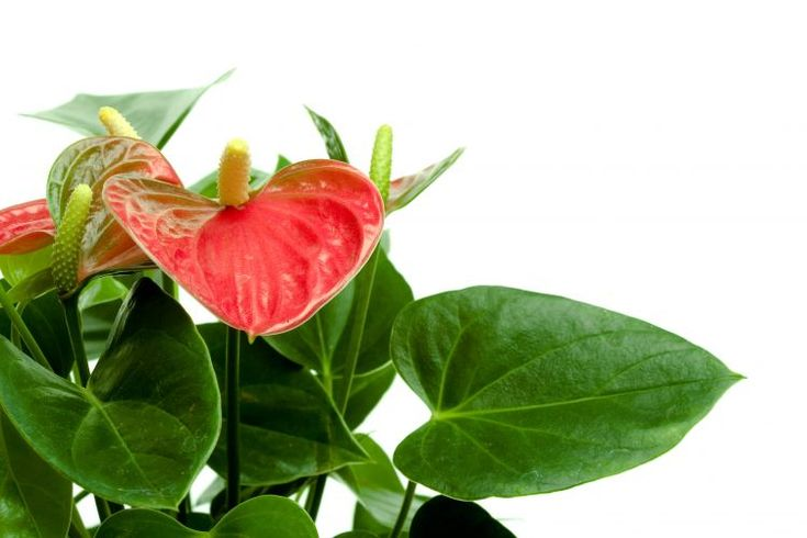Plantas tóxicas em Pets (Anthurium Possui como princípio tóxico o licorine e causa como sinais clínicos diarréia, vômito e náusea nos animais domésticos