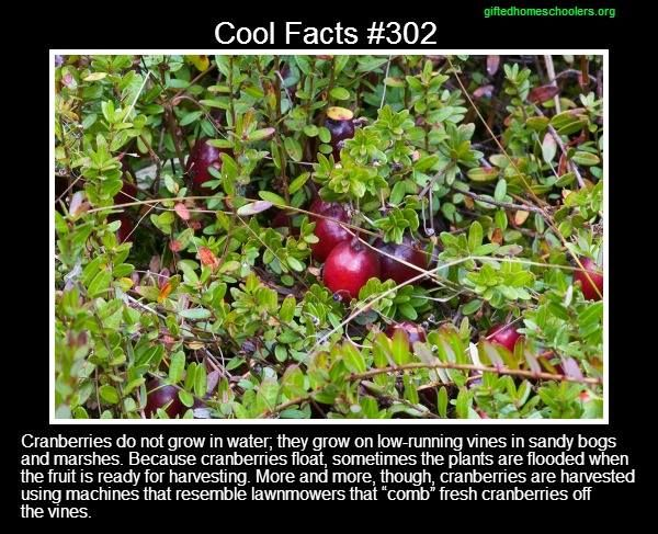 Cool facts #302  http://visitwisrapids.com/things-to-do/the-cranberry-experience/cranberry-facts/