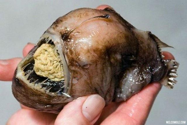 Ugliest-fish-ever (8)