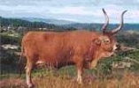 BARROSÃBarrosâ es una raza portuguesa, que se distingue por la lira alta de su cornamenta, su armonía de formas y por la famosa y inigualable carne que produce.  La cabeza es corta y larga, culminada con una fuerte cornamenta en lira.  Papada muy desarrollada.   Pelaje castaño-claro tendiendo hacia el color paja o hacia el acerezado.  Temperamento muy dócil.   El peso medio es de 420 Kg para las hembras y de 700 Kg para los machos.