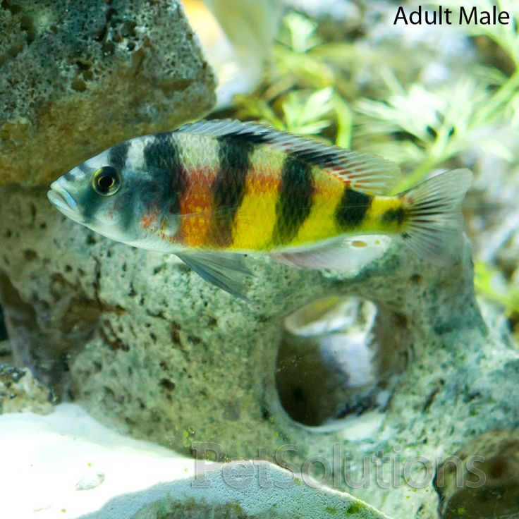 17 best images about african cichlids on pinterest for African freshwater fish