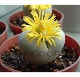 Номер 2. Lithops (Литопс), семена очень мелкие.  3шт-35р. Отправляем цветы почтой по РФ и СНГ. Цветы Череповец