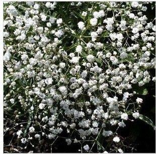 30 семян/пакет Цвет упаковки Гипсофила семян Ся Звездное горшечные растения семена цветов семена Gypsophila