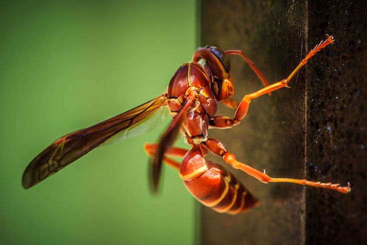 red wasp | Red Wasp | Photo of the Day | 75Central Photography