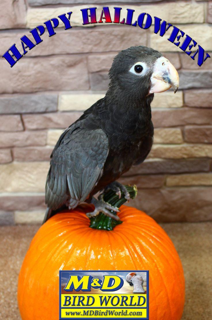 Happy Halloween from our Vasa Parrot baby http://www.mdbirdfarm.com/Greater_Vasa_Parrot_p/greater-vasa-parrot.htm